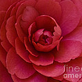 Red Camellia by Cindy Garber Iverson