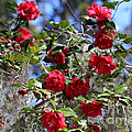 Red Camellias And Blue Sky by Carol Groenen