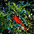 Red Cardinal 1 by Kristina Deane