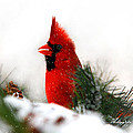 Red Cardinal by Christina Rollo