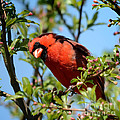 Red Cardinal In Springtime by Nava Thompson