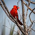 Red Cardinal by Jane Luxton