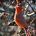 Red Cardinal Pose by Nava Thompson