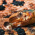 Red Carolina Pygmy Rattlesnake by Millard H Sharp