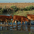 Red Cattle by Diane Bohna
