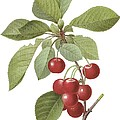 Red Cherry by Spencer McKain