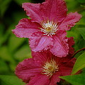 Red Clematis Flowers by Nathan Abbott