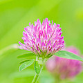 Red Clover by Rich Leighton