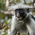 Red Colobus by Luca Benazzi