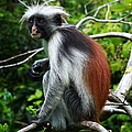 Red Colobus Monkey by Aidan Moran