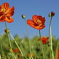 Red Cosmos Flower by Tracey Harrington-Simpson
