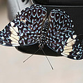Red Cracker Butterfly by Judy Whitton
