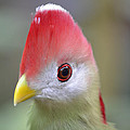 Red Crested Turaco by Richard Bryce and Family