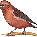 Red Crossbill by Anonymous