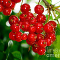 Red Currants Ribes Rubrum by Tim Holt