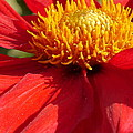 Red Dahlia Coccinea by Christiane Schulze Art And Photography