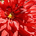 Red Dahlia by Dora Sofia Caputo Photographic Design and Fine Art