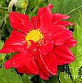 Red Dahlia Flower by Millard H. Sharp
