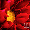 Red Dahlia by Joe Mamer