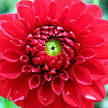 Red Dahlia by Laurel Talabere