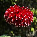 Red Dahlia by Pravine Chester