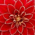 Red Dahlia by Sandy MacGowan