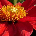 Red Dahlia Starlet by Christiane Schulze Art And Photography