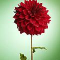 Red Dahlia by Tony Cordoza