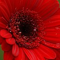 Red Daisy by Carol Lynch