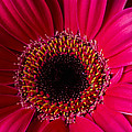 Red Daisy Close Up by Garry Gay
