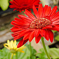 Red Daisy by Raul Rodriguez