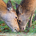 Red Deer  Cervus Elaphus  Head To Head by Liz Leyden