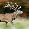 Red Deer Cervus Elaphus Stag Running by Cyril Ruoso
