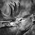Red Deer I by Stefan Nielsen