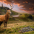 Red Deer Stag And Mopuntains by Matthew Gibson