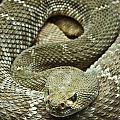 Red Diamond Rattlesnake 3 by Douglas Barnett