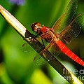 Red Dragonfly by Charles Dobbs