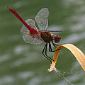 Red Dragonfly by Dennis Reagan