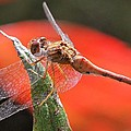 Red Dragonfly by Doris Potter