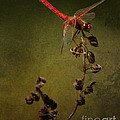 Red Dragonfly On A Dead Plant by Belinda Greb