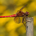 Red Dragonfly Waiting by Karen Forsyth
