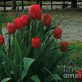 Red Dynasty Red Tulips by Kip DeVore