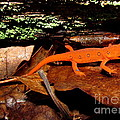 Red Eft by Joshua Bales