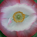 Red Eye Poppy by Barbara St Jean
