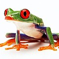 Red-eye Tree Frog 1 by Lanjee Chee