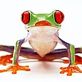 Red-eye Tree Frog 2 by Lanjee Chee