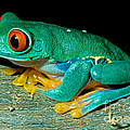 Red Eye Tree Frog by Millard Sharp