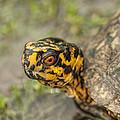 Red Eyed Alabama Box Turtle - Terrapene Carolina by Kathy Clark