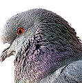 Red-eyed Pigeon by Jennifer Wheatley Wolf