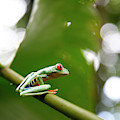 Red Eyed Tree Frog, Agalychnis by Yadid Levy